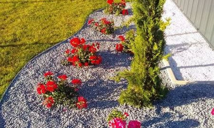 Massif de rosier à Apprieu